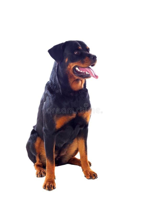 Ενήλικο σκυλί Rottweiler στοκ εικόνα με δικαίωμα ελεύθερης χρήσης