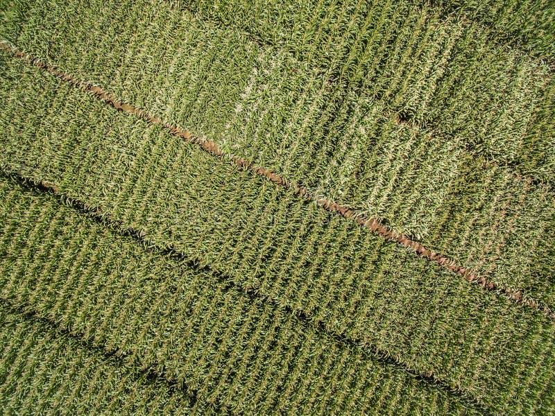 Εναέρια άποψη άνωθεν της πράσινης γεωργίας τομέων καλαμποκιού που σπέρνεται στοκ φωτογραφίες
