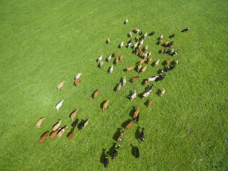 Εναέρια άποψη της βοσκής των αγελάδων σε ένα κοπάδι σε ένα πράσινο λιβάδι το καλοκαίρι στοκ εικόνες