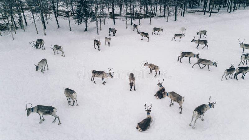 Εναέρια άποψη του κοπαδιού ταράνδων το χειμώνα Lapland Φινλανδία στοκ φωτογραφία με δικαίωμα ελεύθερης χρήσης