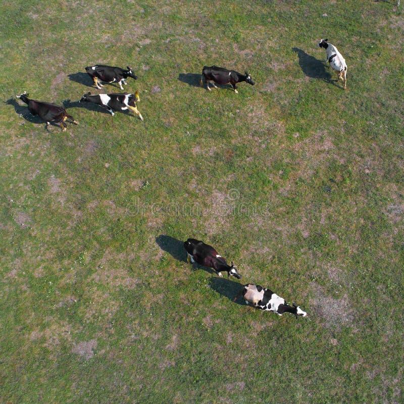 Εναέρια άποψη των αγελάδων στο πράσινο λιβάδι στην Ουκρανία στοκ φωτογραφία