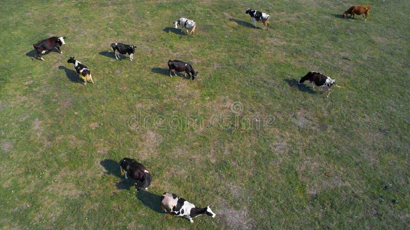 Εναέρια άποψη των αγελάδων στο πράσινο λιβάδι στην Ουκρανία στοκ εικόνες με δικαίωμα ελεύθερης χρήσης