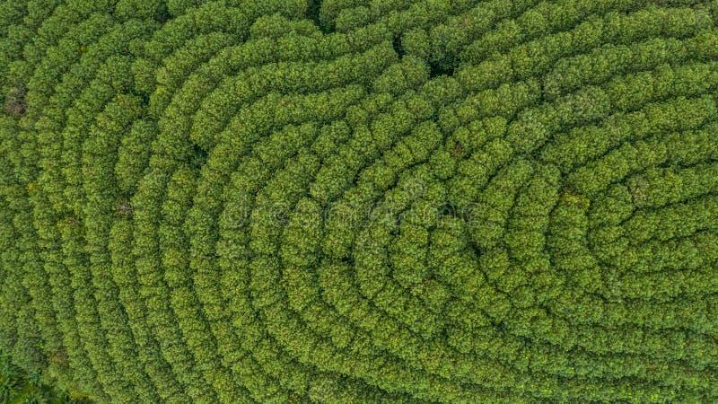Εναέρια δασική, τοπ άποψη λαστιχένιων δέντρων άποψης του λαστιχένιου δέντρου και φύλλο στοκ εικόνες