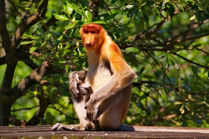 Ενδημικός στο νησί του Μπόρνεο στοκ φωτογραφία