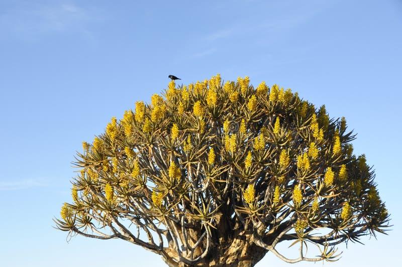 Ενδημικό δάσος ρίγος-δέντρων στη Ναμίμπια στοκ φωτογραφία με δικαίωμα ελεύθερης χρήσης