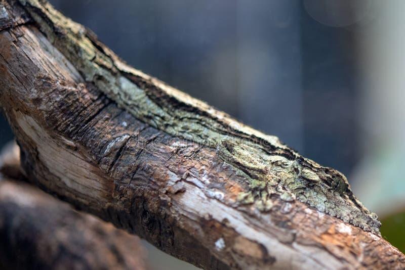 Ενδημικό gecko της Μαδαγασκάρης sikorae Uroplatus στοκ φωτογραφίες με δικαίωμα ελεύθερης χρήσης