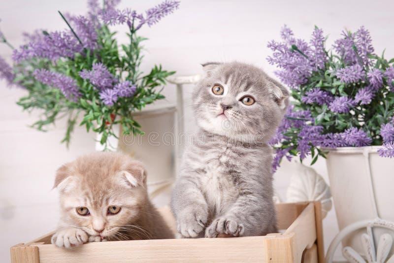 Ενδιαφέροντα σκωτσέζικα γατάκια Thoroughbred γάτες Γάτες πτυχών ζεύγους στοκ εικόνες με δικαίωμα ελεύθερης χρήσης