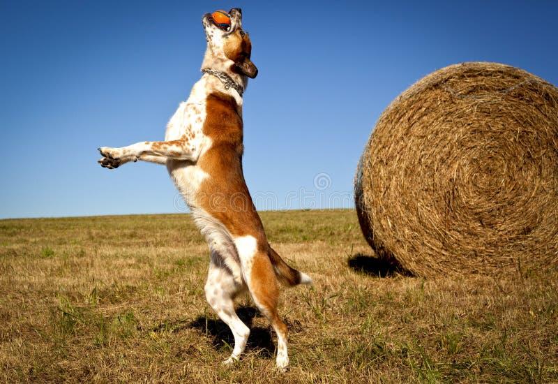 Ενεργητικό αυστραλιανό σκυλί βοοειδών που πηδά με τη σφαίρα στο στόμα στοκ εικόνες