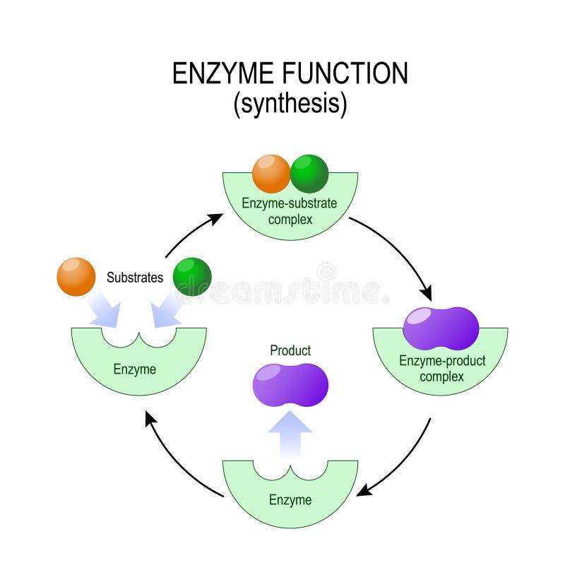 Ενζυμική λειτουργία σύνθεση υπόστρωμα, προϊόν, ένζυμο-προϊόν γ διανυσματική απεικόνιση