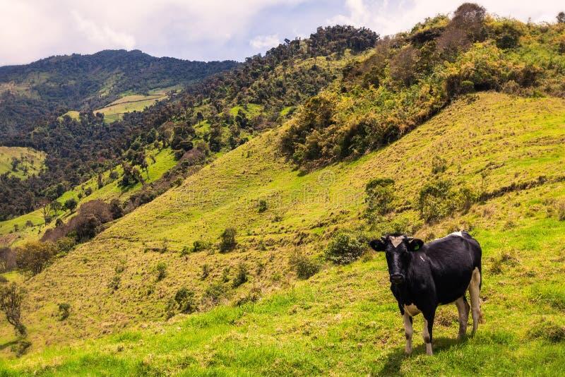 Ενιαία βοσκή αγελάδων στοκ φωτογραφίες