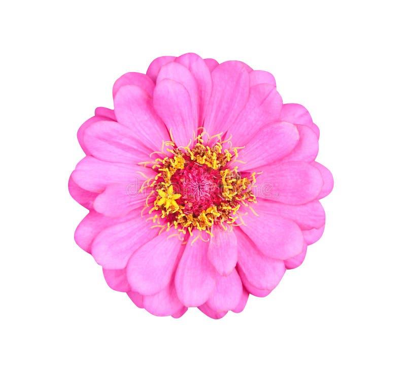 Ενιαία γλυκά ζωηρόχρωμα ρόδινα λουλούδια ή asteraceae violacea της Zinnia πετάλων τοπ άποψης την κίτρινη άνθιση γύρης που απομονώ στοκ φωτογραφίες