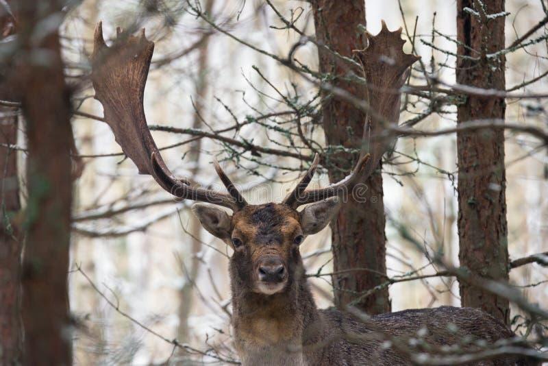 Ενιαία ελάφια Ντάνιελ αγραναπαύσεων με τα πανέμορφα κέρατα που στέκονται σε ένα λευκορωσικό δάσος κάτω από την πρώτη πτώση χιονιο στοκ εικόνες με δικαίωμα ελεύθερης χρήσης