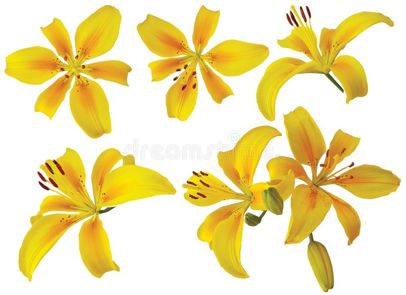 Ενιαία κίτρινα λουλούδια κρίνων στο άσπρο υπόβαθρο στοκ φωτογραφίες με δικαίωμα ελεύθερης χρήσης