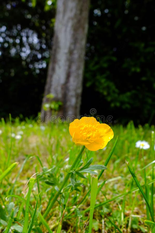 Ενιαία κίτρινη νεραγκούλα στοκ φωτογραφίες με δικαίωμα ελεύθερης χρήσης