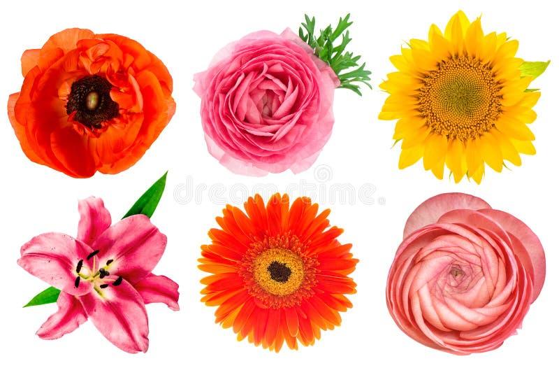 Ενιαία κεφάλια λουλουδιών Κρίνος, βατράχιο, ηλίανθος, gerber, anemon στοκ εικόνα με δικαίωμα ελεύθερης χρήσης