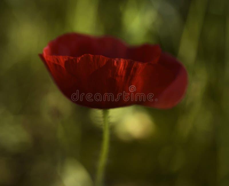 Ενιαία κόκκινη παπαρούνα στον αέρα στοκ φωτογραφίες