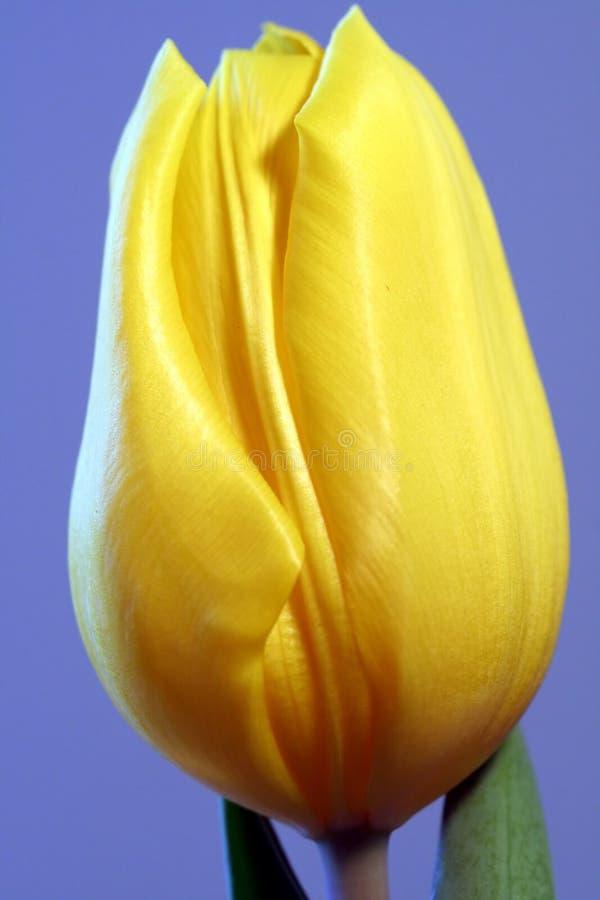 Download ενιαία τουλίπα κίτρινη στοκ εικόνα. εικόνα από άνοιξη - 2229469