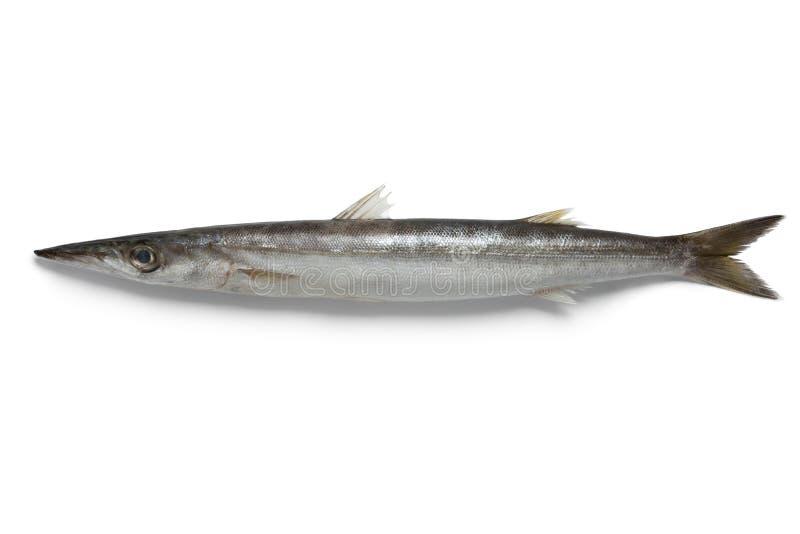 Ενιαία ψάρια barracuda στοκ φωτογραφίες με δικαίωμα ελεύθερης χρήσης