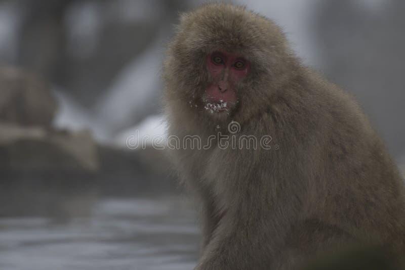 Ενιαίοι ιαπωνικοί πίθηκοι macaque ή χιονιού, fuscata Macaca, που κάθονται στο βράχο του καυτού ελατηρίου, με το χιόνι στο στόμα τ στοκ εικόνες
