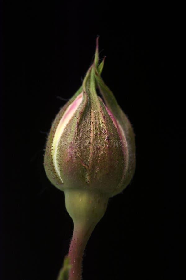 Ενιαίος άσπρος ρόδινος, ανοίγοντας σχεδόν, όμορφο μπουμπούκι τριαντάφυλλου που απομονώνεται στο μαύρο κλίμα στοκ φωτογραφίες