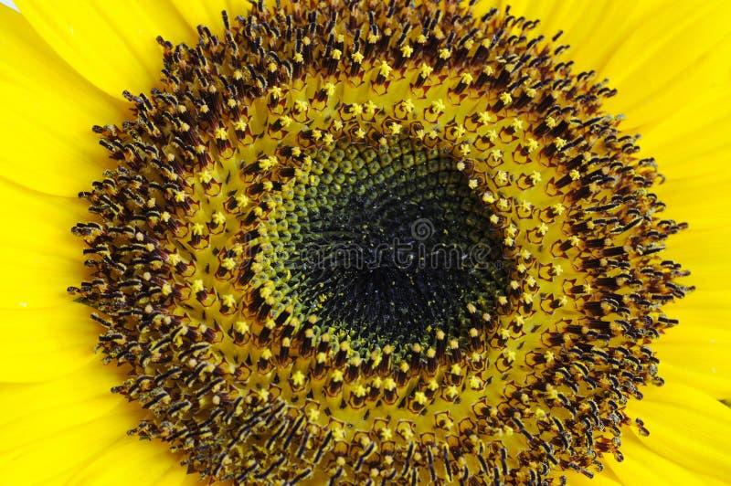 ενιαίος ήλιος λουλου στοκ φωτογραφία