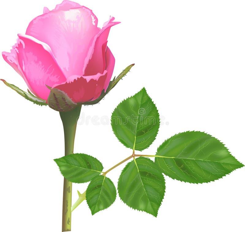 Ενιαίος απομονωμένος ανοικτό ροζ αυξήθηκε λουλούδι ελεύθερη απεικόνιση δικαιώματος