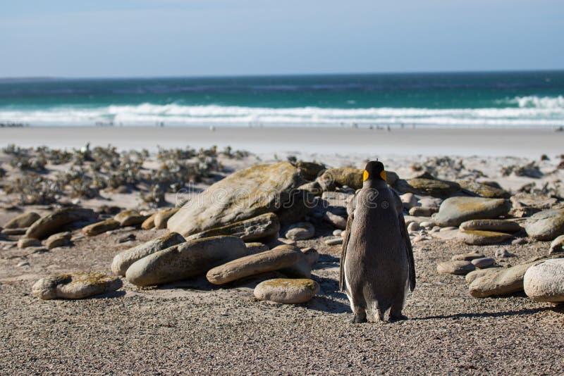 Ενιαίος βασιλιάς penguin στοκ εικόνα