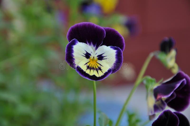 Ενιαίος ιώδης pansy στον κήπο στοκ φωτογραφίες με δικαίωμα ελεύθερης χρήσης