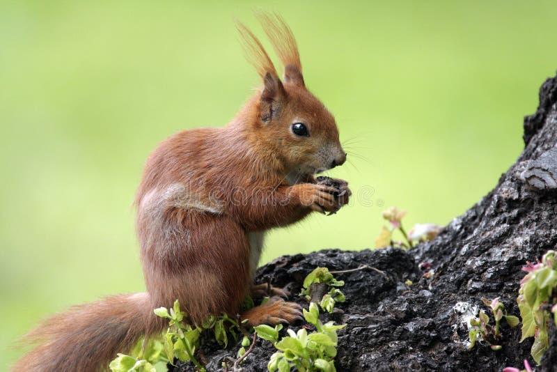 Ενιαίος κόκκινος σκίουρος σε έναν κλάδο δέντρων στη δασική την άνοιξη εποχή της Πολωνίας στοκ φωτογραφίες
