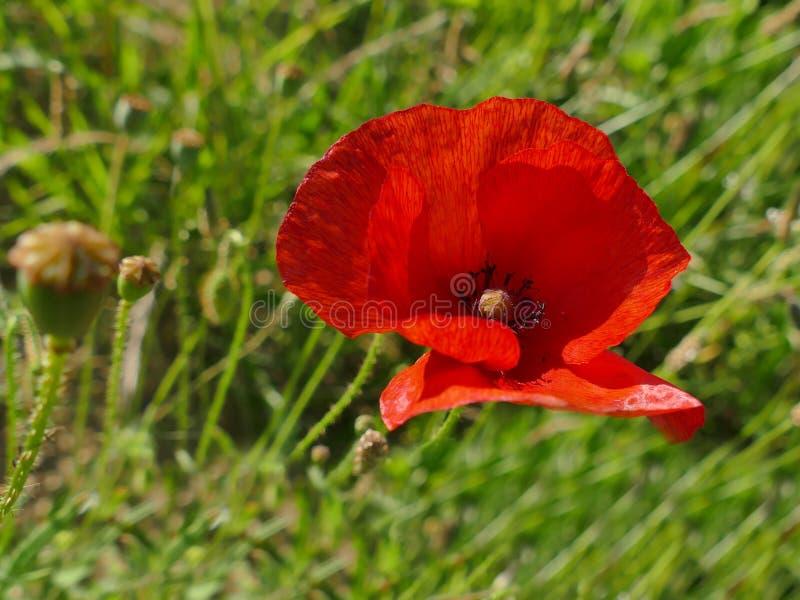 Ενιαίος κόκκινος στενός επάνω λουλουδιών παπαρουνών στην πράσινη χλόη στοκ εικόνες