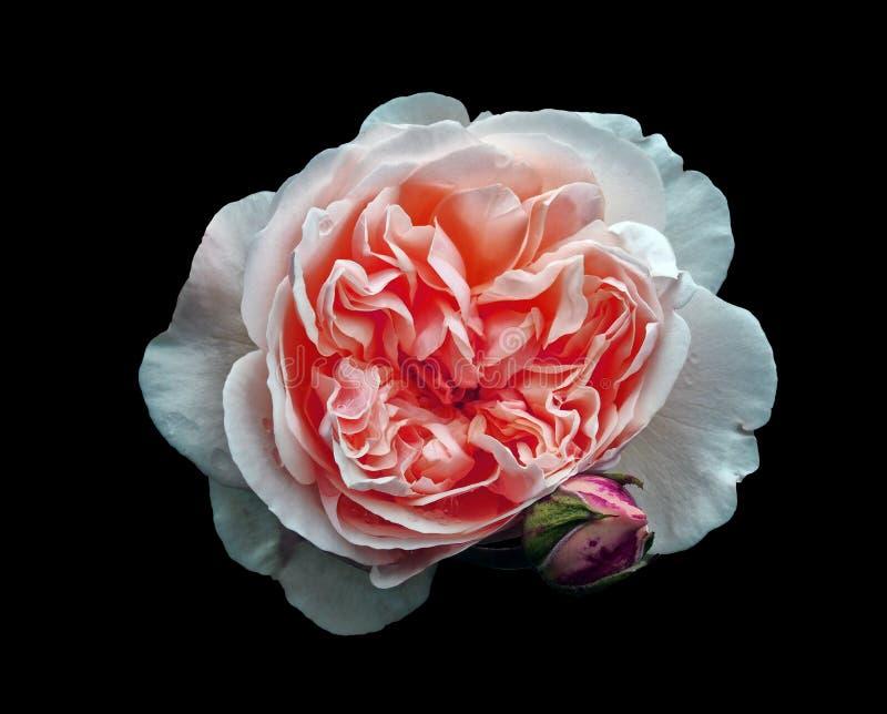 Ενιαίος όμορφος μεγάλος άσπρος αυξήθηκε με ένα ρόδινο κέντρο με ένα μπουμπούκι τριαντάφυλλου που απομονώθηκε σε ένα μαύρο υπόβαθρ στοκ εικόνα με δικαίωμα ελεύθερης χρήσης