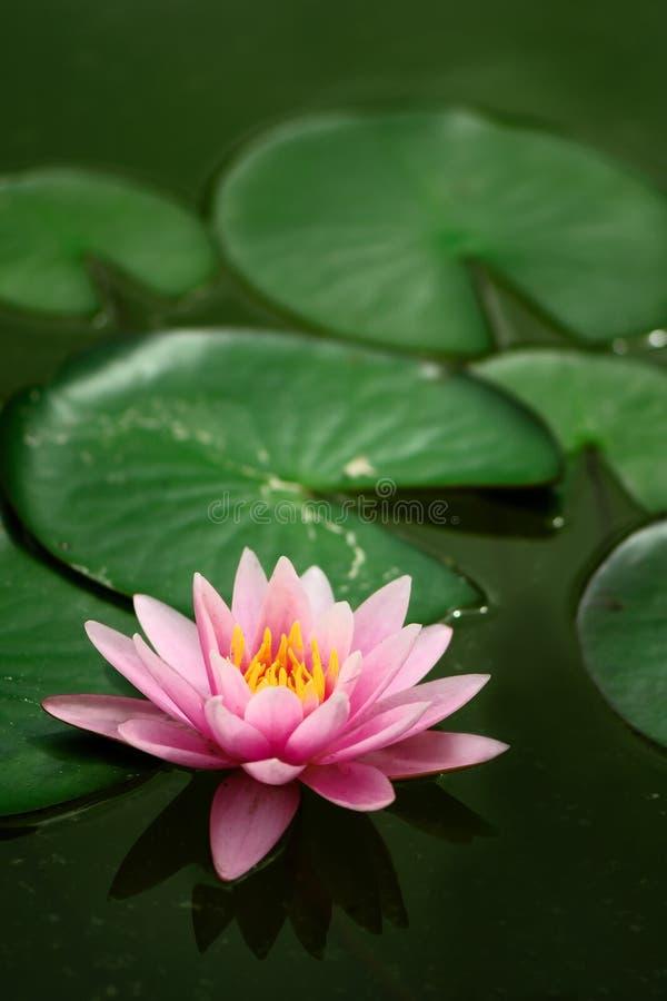 ενιαίος waterlily στοκ εικόνες