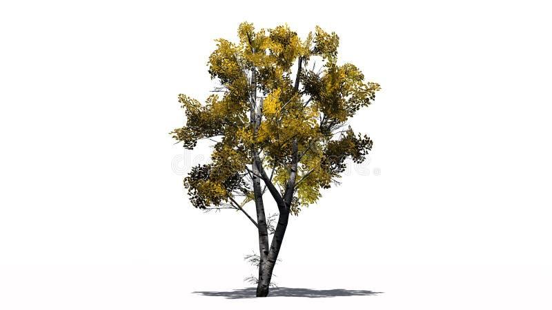 Ενιαίο άσπρο δέντρο σημύδων το φθινόπωρο με τη σκιά στο πάτωμα στοκ εικόνες με δικαίωμα ελεύθερης χρήσης