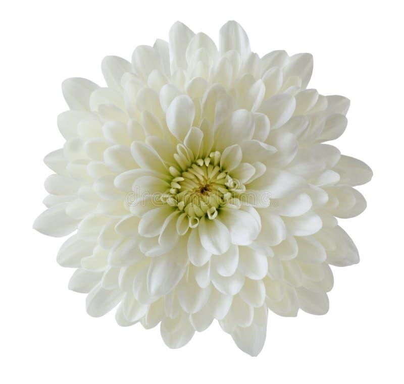 Ενιαίο άσπρο χρυσάνθεμο στοκ εικόνες
