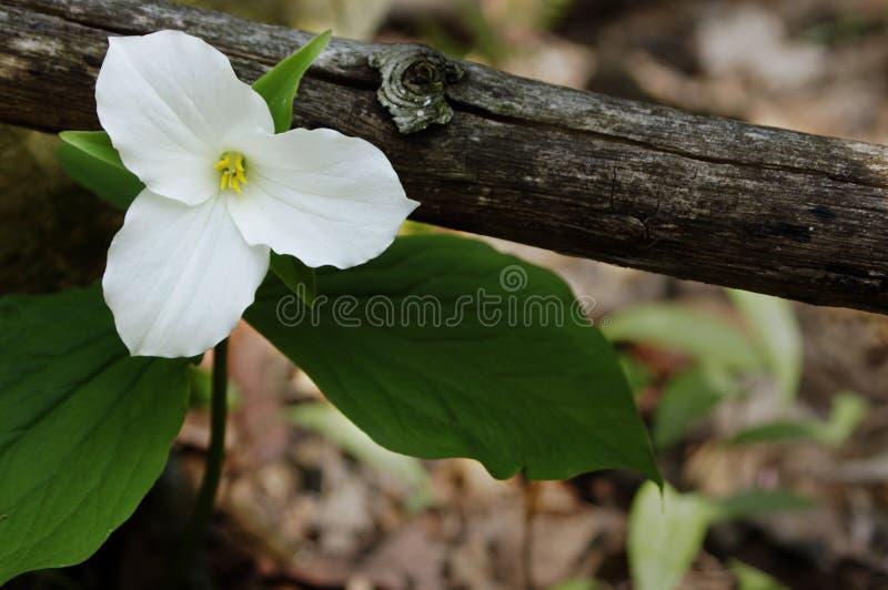 Ενιαίο άσπρο Trillium στοκ φωτογραφία με δικαίωμα ελεύθερης χρήσης