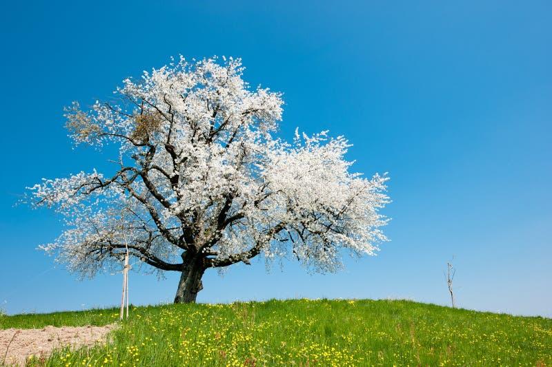 Ενιαίο ανθίζοντας δέντρο την άνοιξη στοκ φωτογραφίες με δικαίωμα ελεύθερης χρήσης
