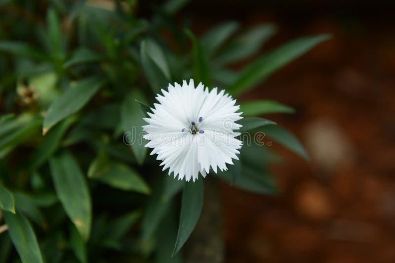 Ενιαίο γλυκό λουλούδι του William στοκ εικόνες με δικαίωμα ελεύθερης χρήσης