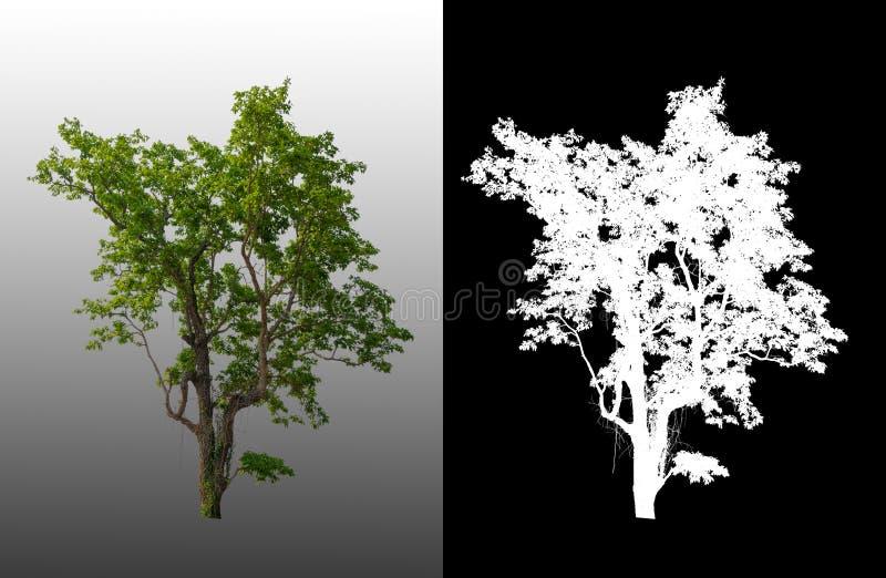 Ενιαίο δέντρο με το ψαλίδισμα της πορείας ελεύθερη απεικόνιση δικαιώματος