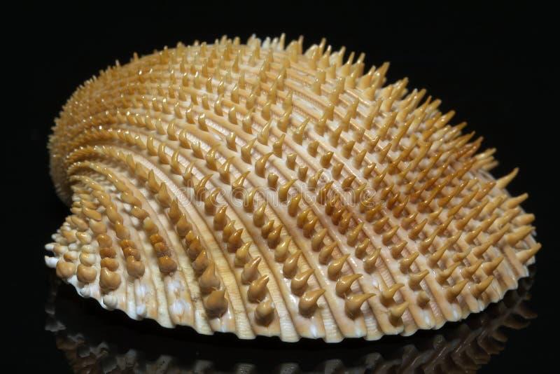 Ενιαίο θαλασσινό κοχύλι του bivalvia στο μαύρο υπόβαθρο στοκ εικόνες