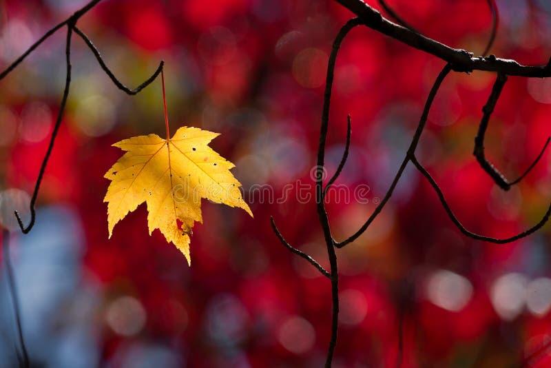 Ενιαίο κίτρινο φύλλο σφενδάμου που προσκολλάται προς τη ζωή στοκ εικόνες