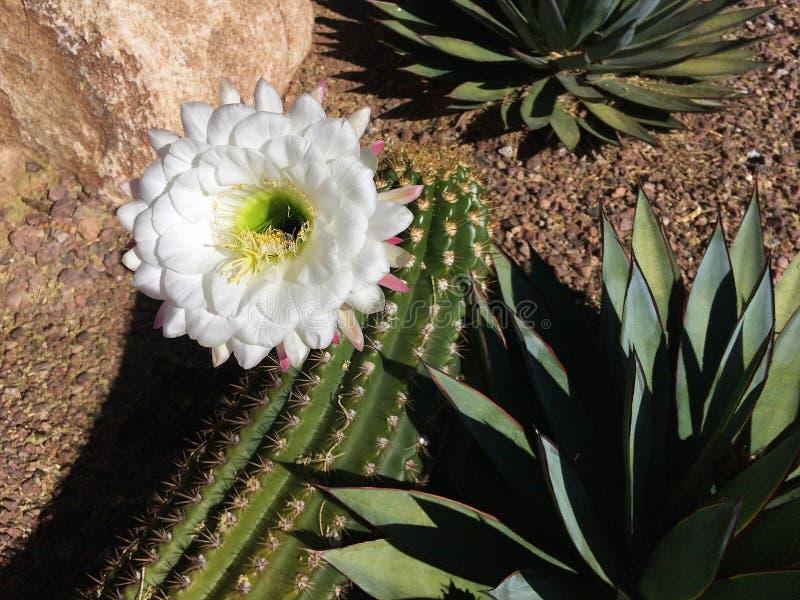 Ενιαίο, καθαρό άσπρο λουλούδι κάκτων της Αριζόνα με την πράσινη αγαύη στοκ εικόνα
