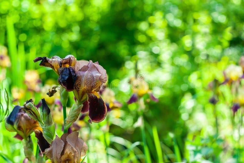 Ενιαίο καφετής-κίτρινο αιχμηρό λουλούδι ίριδων κινηματογραφήσεων σε πρώτο πλάνο στο μουτζουρωμένο πράσινο υπόβαθρο κήπων με place στοκ εικόνες με δικαίωμα ελεύθερης χρήσης