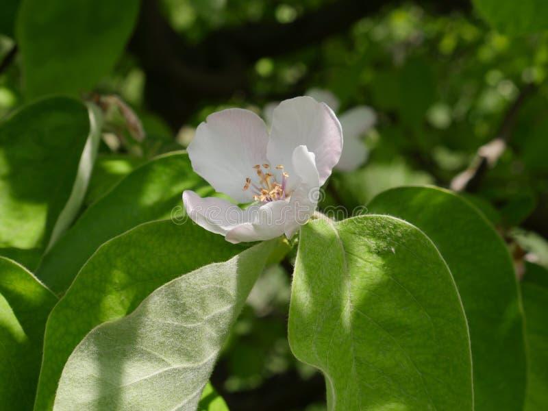 Ενιαίο λουλούδι αχλαδιών στοκ εικόνες με δικαίωμα ελεύθερης χρήσης