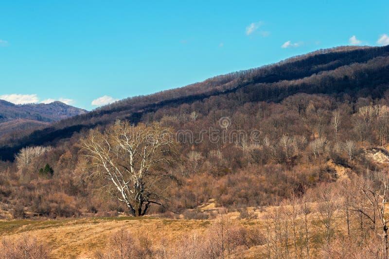 Ενιαίο μεγάλο γιγαντιαίο δέντρο που περιβάλλεται από τους λόφους που καλύπτονται στο δάσος - πολύ νωρίς χρόνος άνοιξη στοκ φωτογραφία με δικαίωμα ελεύθερης χρήσης