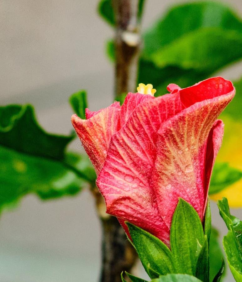 Ενιαίο μερικώς-ανοικτό κόκκινο Hibiscus άνθος στοκ εικόνα