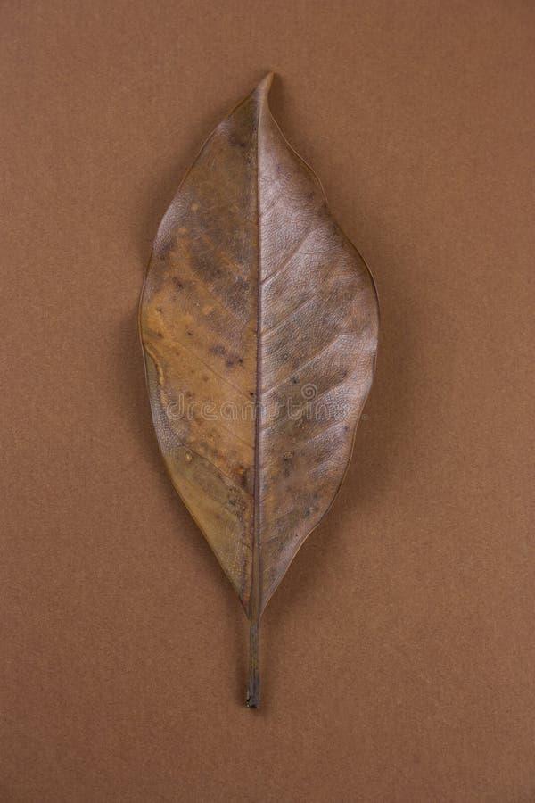 Ενιαίο ξηρό καφετί φύλλο στοκ φωτογραφία