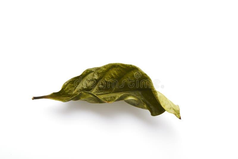Ενιαίο ξηρό πράσινο φύλλο φύλλων στοκ φωτογραφίες