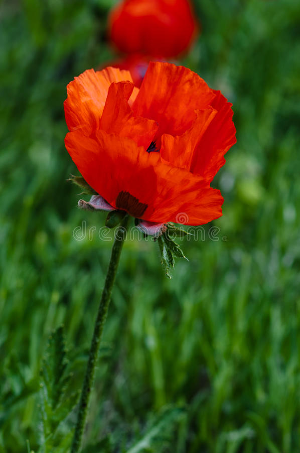 Ενιαίο λουλούδι παπαρουνών στον τομέα στοκ φωτογραφίες
