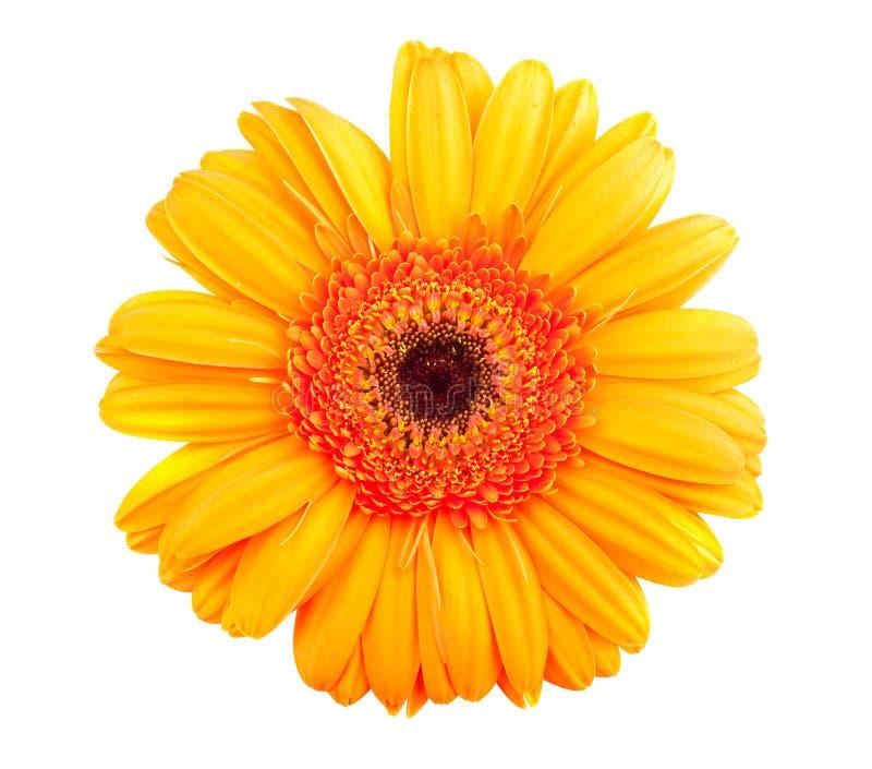 Ενιαίο πορτοκαλί λουλούδι gerbera στοκ φωτογραφία
