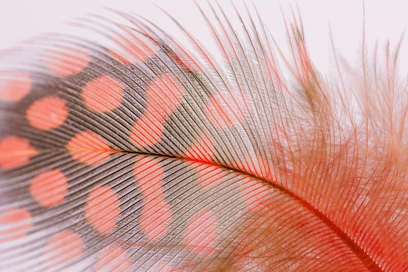 Ενιαίο πορτοκαλί μακρο υπόβαθρο φτερών της Γουινέας στοκ φωτογραφίες